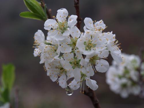 Li Zi Hua Kai 李子花开 Plum Blossom Lyrics 歌詞 With Pinyin By Zhang Ke Er 张可儿