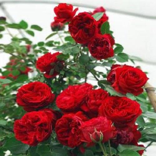 Hong Se Qiang Wei 红色蔷薇 Red Rose Lyrics 歌詞 With Pinyin By Ya Xin 雅心