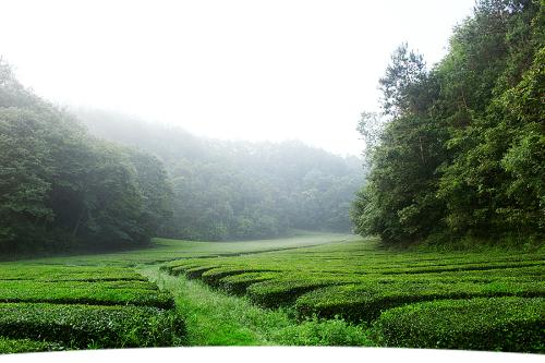 Cha Lin Shan Jian 茶林山间 Tea Forest In The Mountains Lyrics 歌詞 With Pinyin By Ge Zi Xi 格子兮