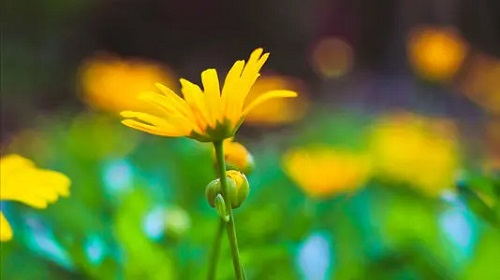 Xiao Huang Hua 小黄花 Small Yellow Flower Lyrics 歌詞 With Pinyin By Hua Jie 花姐