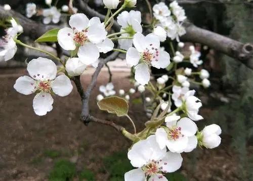 Li Hua Ling 梨花令 Pear Blossom Order Lyrics 歌詞 With Pinyin By Yu Lu Shen Gu 御鹿神谷 Cha Er Niang 茶二娘